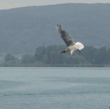 Чайка над Боденским озером