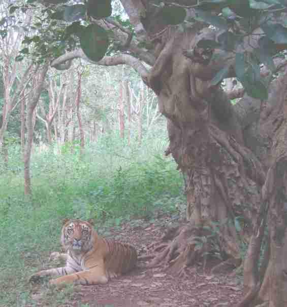 Тигр в окрестностях курорта Гоа