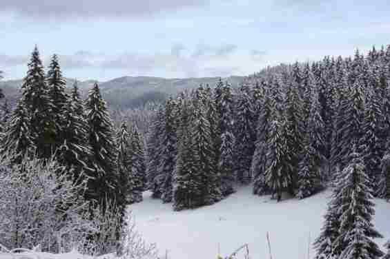 Курорт Пампорово. Стройные ели в зимнем лесу Республики Болгария