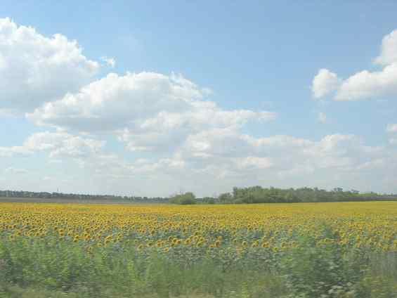 Подсолнечник - одна из основных сельскохозяйственных культур страны Украина