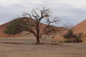 Одинокое дерево в пустыне. Страна Намибия